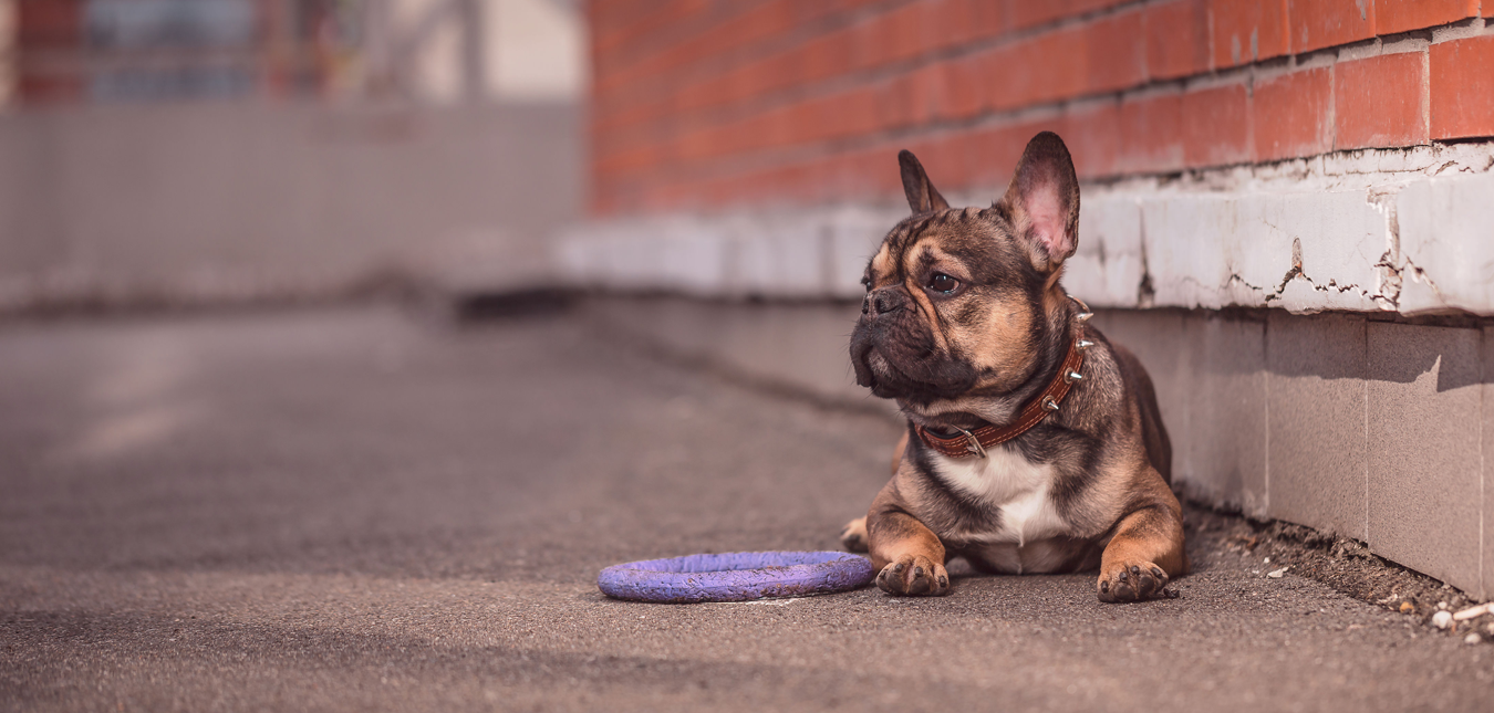 French Bulldog Puppies For Sale In Austin Texas